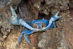 Caranguejo azul na posição defensiva imagem de stock