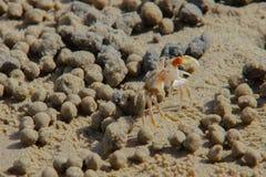 Caranguejo da areia Fotografia de Stock