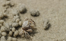 Caranguejo da areia na praia perto da toca Imagem de Stock