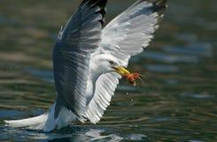 Caranguejo da gaivota Foto de Stock Royalty Free