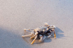 Caranguejo da praia Fotografia de Stock Royalty Free
