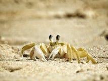 Caranguejo da praia Foto de Stock