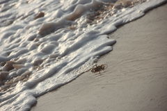 Caranguejo da praia perseguido pelas ondas Foto de Stock Royalty Free