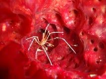 Caranguejo da seta em uma esponja vermelha Foto de Stock