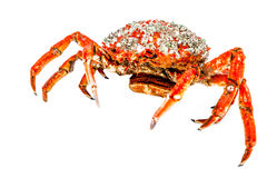 Caranguejo de aranha Imagem de Stock