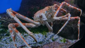Caranguejo de aranha japonês gigante que move-se lentamente vídeos de arquivo