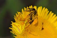 Caranguejo de aranha (Thomisus Onustus) Imagem de Stock Royalty Free