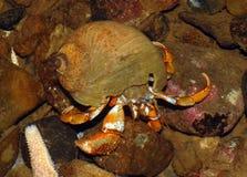 Caranguejo de eremita acádico Imagem de Stock Royalty Free