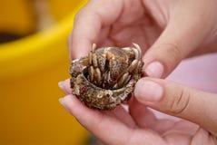 Caranguejo de eremita com escudo nas mãos das meninas imagem de stock