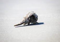 Caranguejo de eremita em South Carolina Imagens de Stock