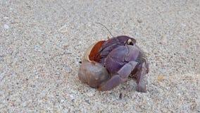 Caranguejo de eremita grande na praia da areia que rasteja de volta ao escudo filme