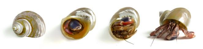 Caranguejo de eremita, isolado no fundo branco, sequência, escondendo ao rastejamento, escudo do caracol de mar imagem de stock royalty free