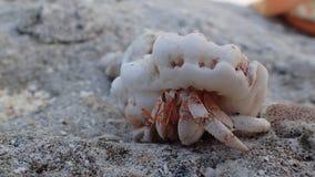 Caranguejo de eremita na praia do bora Polinésia francesa imagens de stock