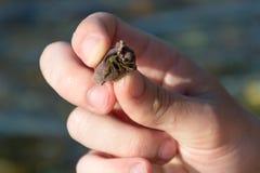 Caranguejo de eremita nas mãos do homem Fotografia de Stock Royalty Free