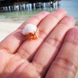Caranguejo de eremita pequeno na palma Imagem de Stock Royalty Free