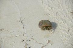 Caranguejo de eremita que anda na praia imagem de stock
