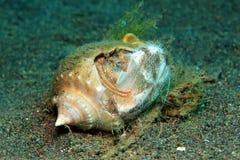 Caranguejo de eremita que come um diabrete de mar Imagens de Stock Royalty Free