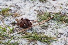 Caranguejo de eremita vermelho, animais selvagens, artrópodes, eremita do câncer Fotografia de Stock