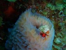 Caranguejo de eremita vermelho do recife em uma esponja do tubo Imagens de Stock Royalty Free