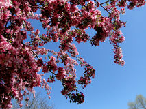 Caranguejo de florescência Apple - Boise, Idaho Fotos de Stock