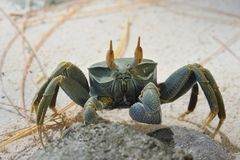 Caranguejo de Ghost Ilha de Platte seychelles imagem de stock