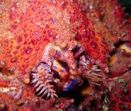 Caranguejo de rei do som de Puget Foto de Stock
