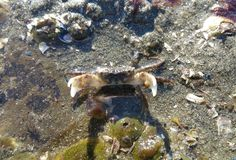 Caranguejo de rocha de Seattle Imagens de Stock Royalty Free