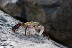 Caranguejo de rocha roxo - Leptograpsus Variegatus Foto de Stock Royalty Free