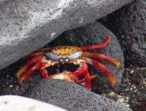 Caranguejo de rocha vermelho nos Galápagos, Equador Fotos de Stock