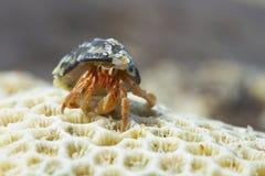 Caranguejo do eremita Foto de Stock