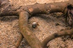 Caranguejo do eremita Imagem de Stock