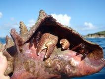 Caranguejo do eremita em seu escudo Fotos de Stock Royalty Free