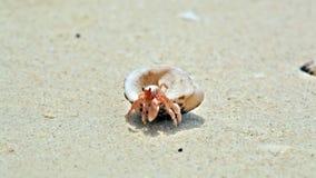Caranguejo do eremita em uma praia video estoque