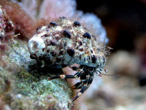 Caranguejo do eremita (sp de Clibanarius.) Fotos de Stock
