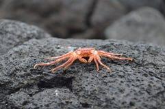 Caranguejo do Exoskeleton na praia preta da areia Imagem de Stock