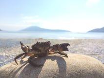 Caranguejo do mar na pedra Fotos de Stock