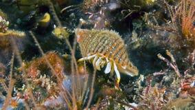 Caranguejo do minutus de Calcinus Fotografia de Stock