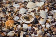 Caranguejo e escudos no litoral imagens de stock royalty free