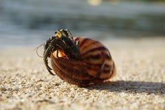 Caranguejo e o shell Fotos de Stock Royalty Free