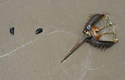 Caranguejo em ferradura Foto de Stock Royalty Free