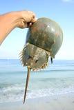Caranguejo em ferradura Imagens de Stock Royalty Free
