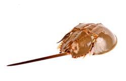 Caranguejo em ferradura isolado dentro no branco Imagem de Stock Royalty Free