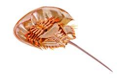 Caranguejo em ferradura isolado dentro no branco Imagens de Stock Royalty Free