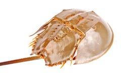 Caranguejo em ferradura isolado dentro no branco Foto de Stock