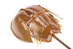 Caranguejo em ferradura isolado dentro no fundo branco Foto de Stock Royalty Free