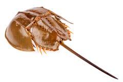 Caranguejo em ferradura isolado dentro no fundo branco Fotos de Stock Royalty Free