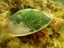 Caranguejo em ferradura no porto Fotografia de Stock Royalty Free