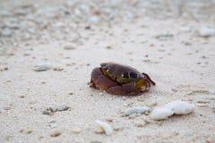Caranguejo em uma praia Fotos de Stock Royalty Free