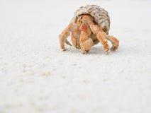 Caranguejo grande do eremita Foto de Stock