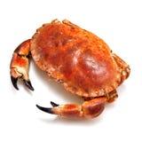Caranguejo marrom comestível. imagem de stock
